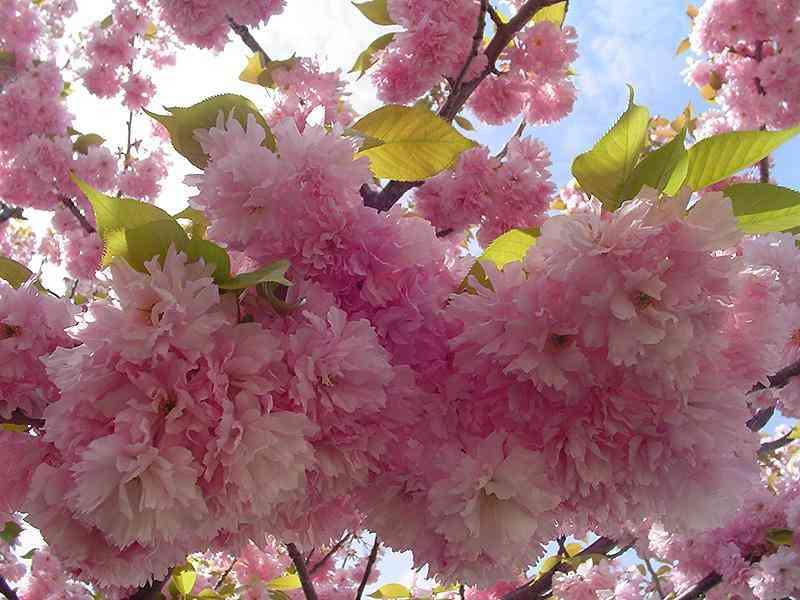 Hoa anh đào (hoa sakura), loài Prunus serrulata Kwanzan