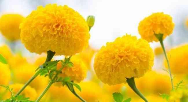 Lá và hoa vạn thọ điều trị mụn nhọt, ho gà, viêm tuyến mang tai