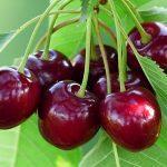 Quả cherry (anh đào) trái cherry là trái gì