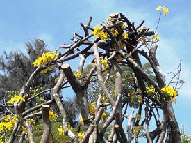 Thân cây mai vàng
