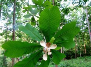 Hậu phác thực thụ là cây gì? Hậu phác chữa bệnh gì?