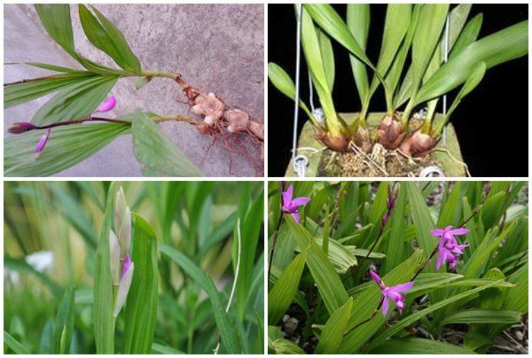 Cây, hoa và củ lan bạch cập
