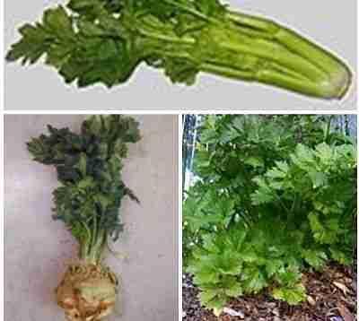 Các loại rau cần tây