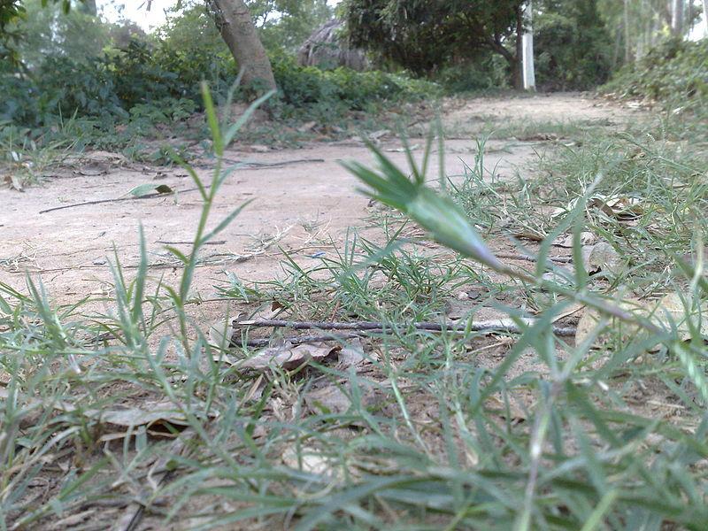 Cỏ gà (cỏ chỉ) mọc ven bên đường rất nhiều