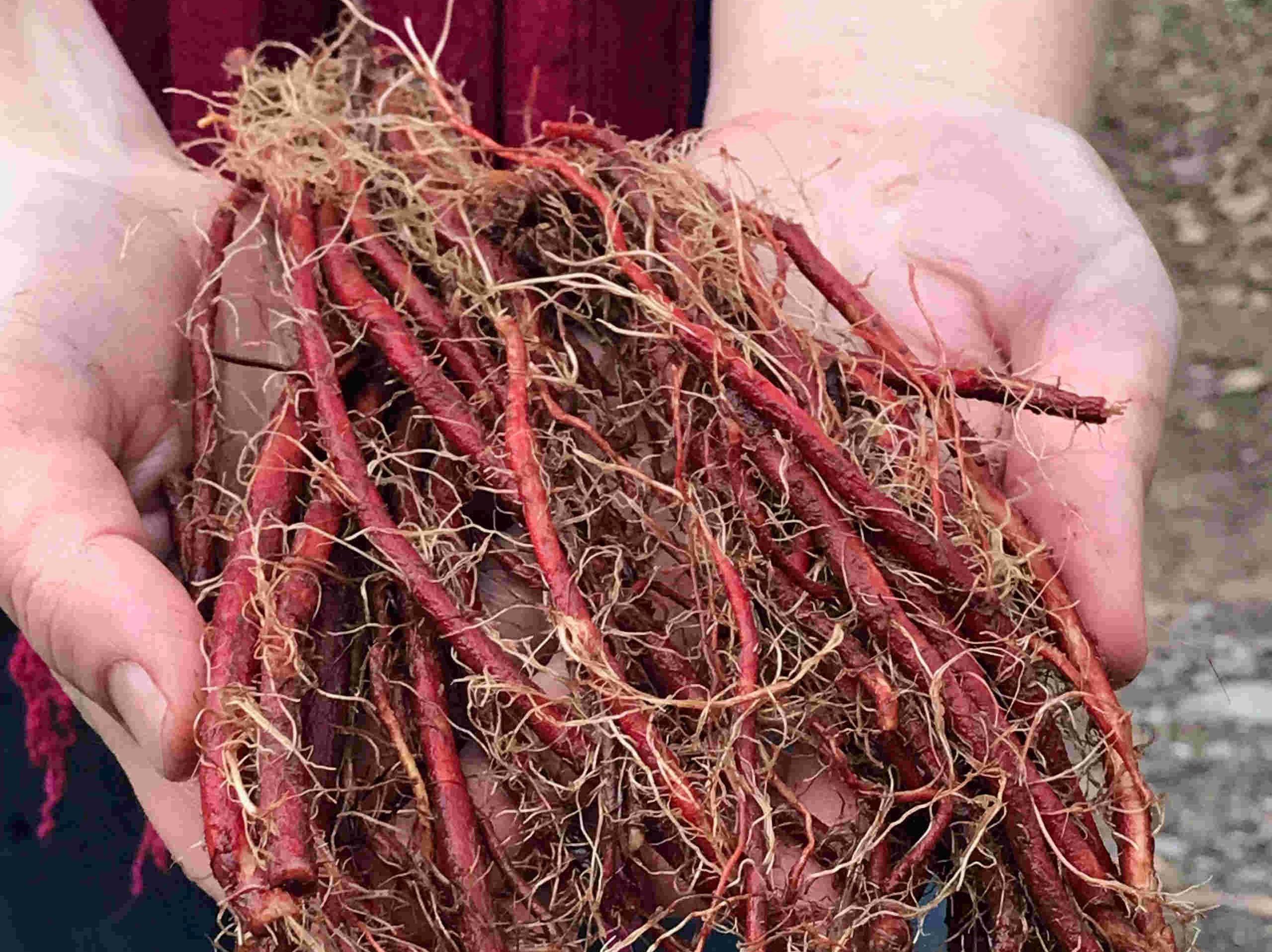 Củ đan sâm tươi chữa bệnh gì