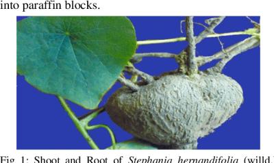 Đồng diệp thiên kim đằng (tephania-hernandifolia)