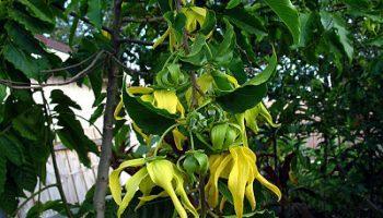 Hoa Y lang ngọc lan tây