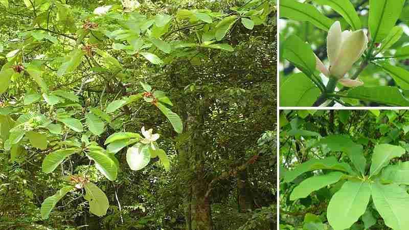 Hậu phác Magnolia offcinalis Rehd. et Wils.