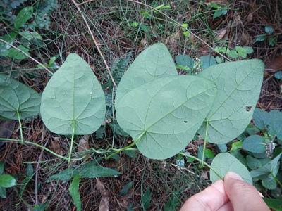 Mặt dưới lá lõi tiền rễ dài