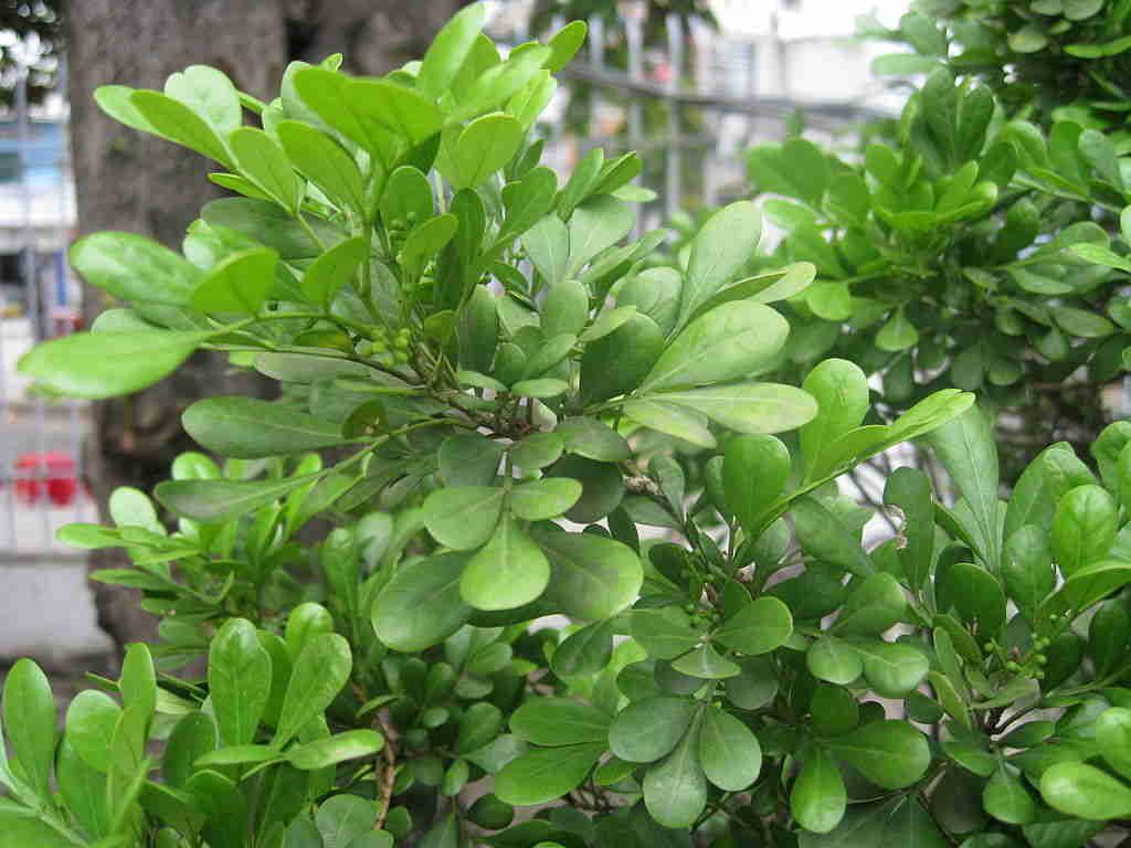 Ngâu ta (cây ngâu Việt)
