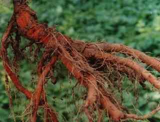 Rễ củ đan sâm thật ngâm rượu chữa bệnh gì