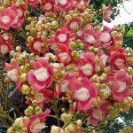Hoa sa la - ngọc kỳ lân