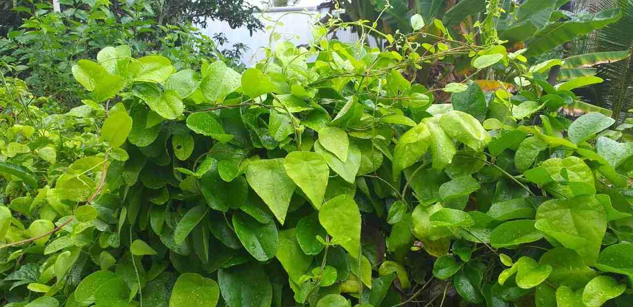 Cách ươm hạt, giâm cành, nhân giống cây sương sâm (lá lông và lá trơn)