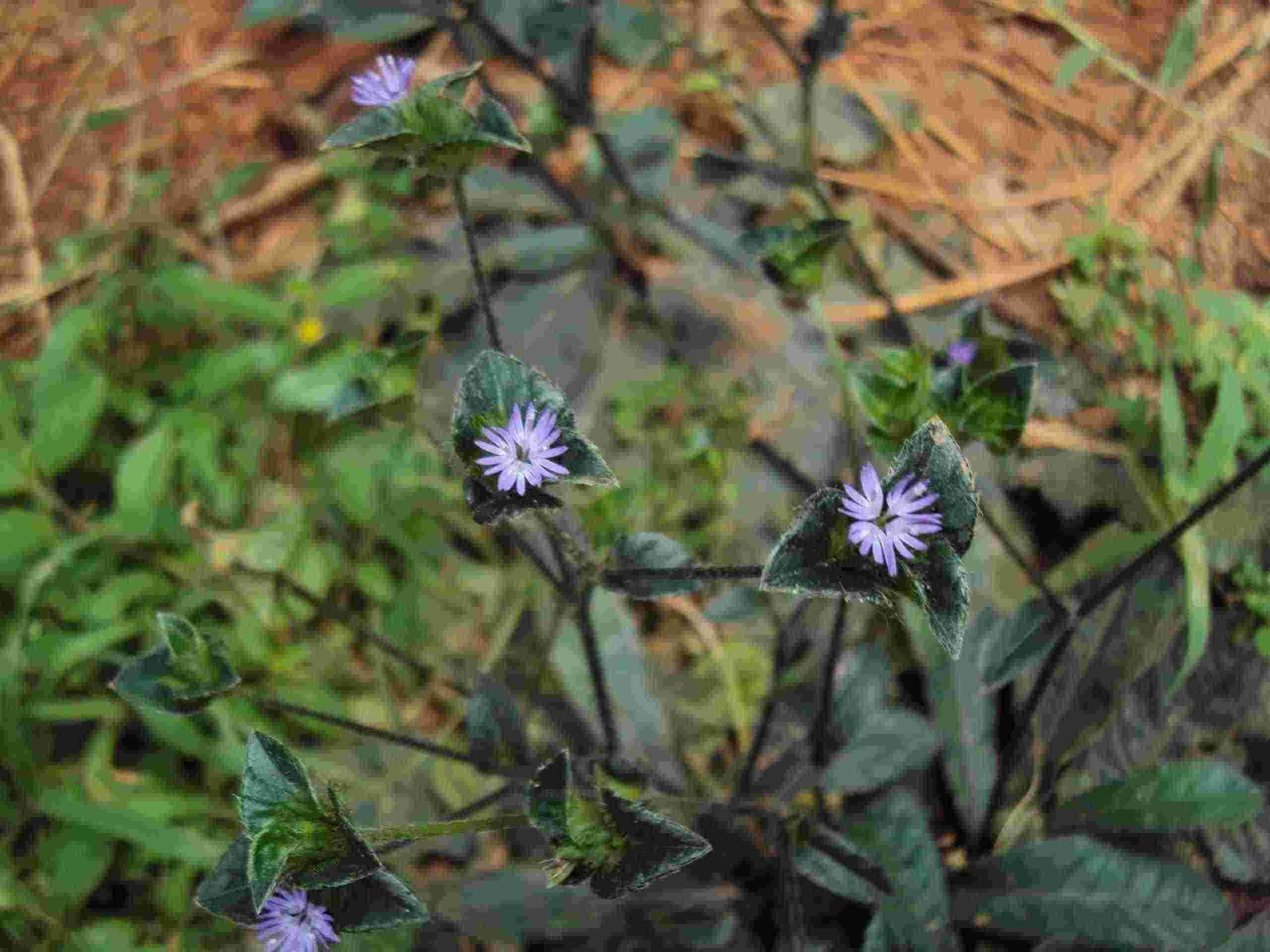 Hoa cây chỉ thiên (thổ bồ công anh)