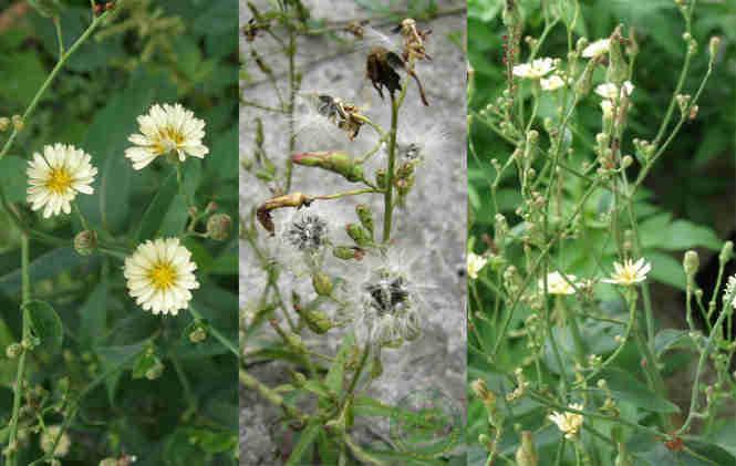 Hoa và cụm quả của cây bồ công anh thân cao
