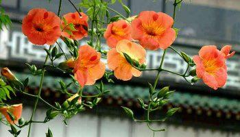 Hoa lan tiêu (lăng tiêu)