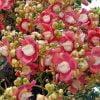 Hoa ngọc kỳ lân