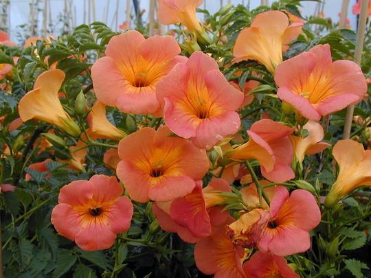 Lăng tiêu (đăng tiêu hoa to)