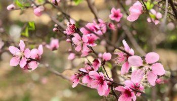 Hoa đào phai
