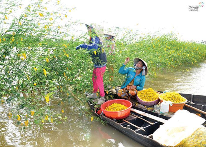 Hái bông điên điển mùa nước nổi miền Tây