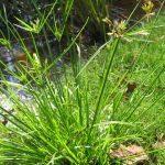 Cây cỏ cú (cỏ gấu)