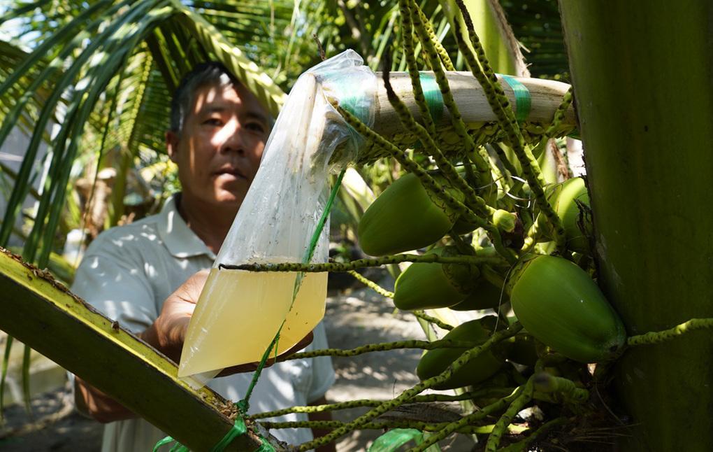 Lấy mật hoa dừa