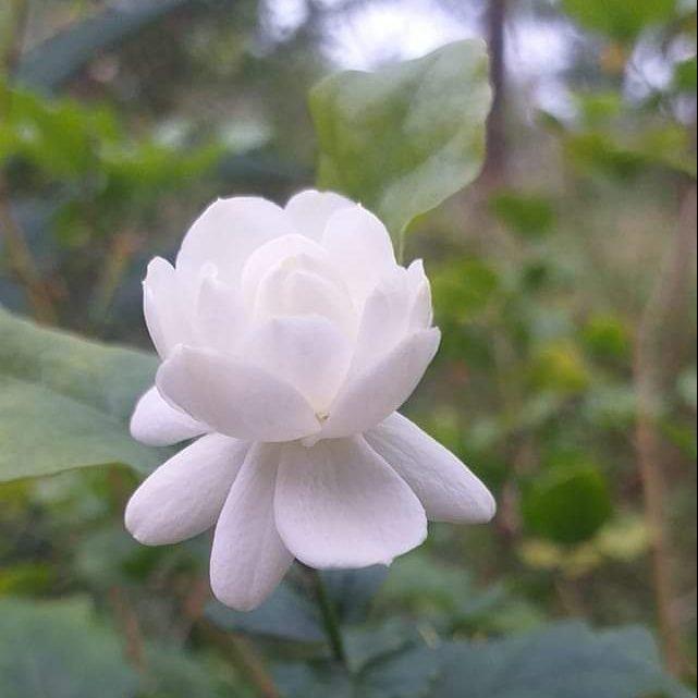Một đóa hoa nhài