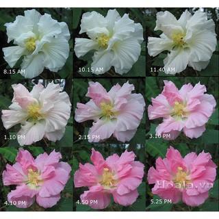 Hoa phù dung đổi màu