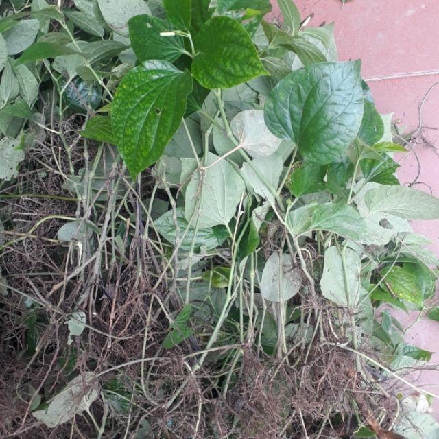Cây lá lốt có tác dụng gì