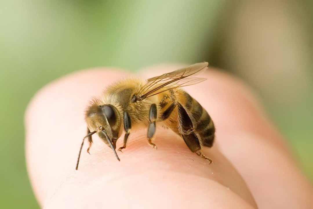 Ong đốt (ong chích)
