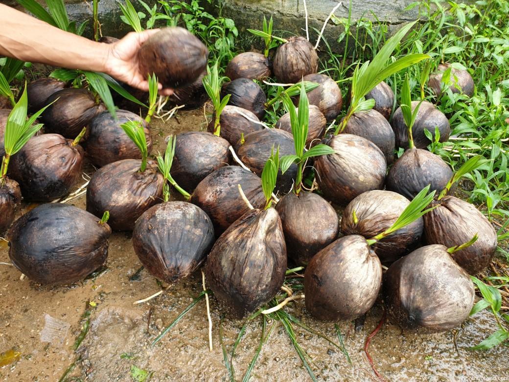 Trái dừa mọc mầm (có mộng bên trong)